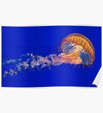 Sea Nettles Jellyfish (Chrysaora fuscescens) Poster
