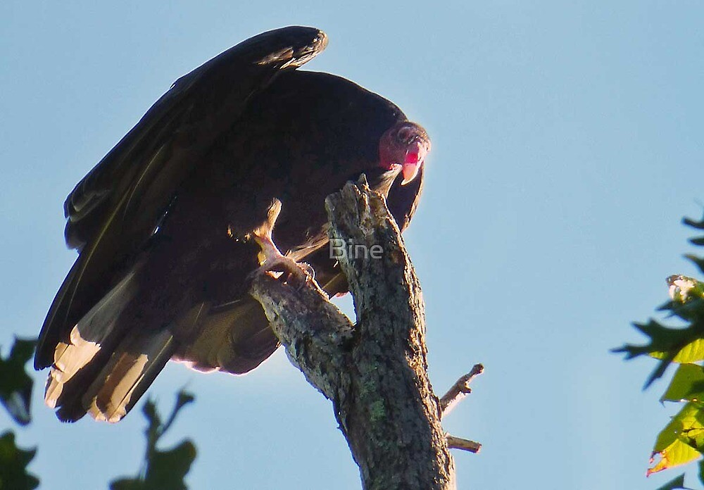 Hey - what are you looking at ? Never seen a vulture before ?  by Bine