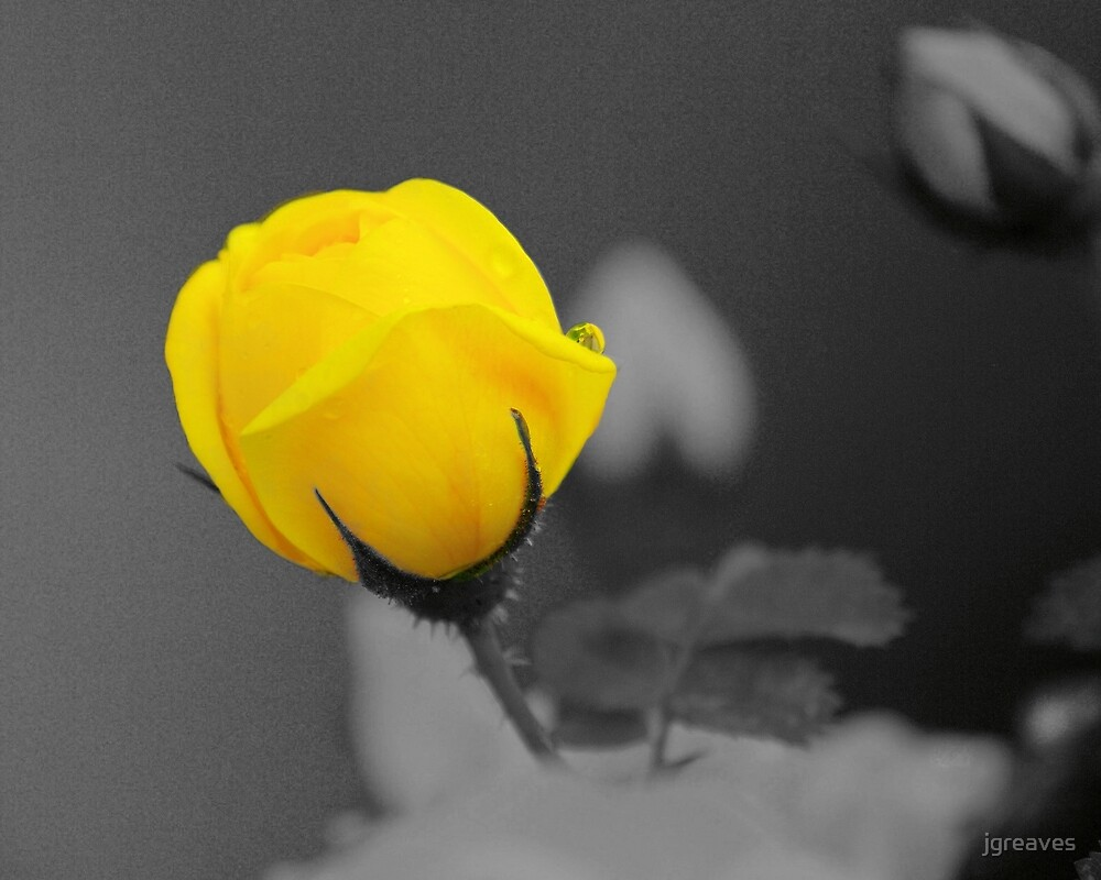 Bud - A splash of yellow by jgreaves