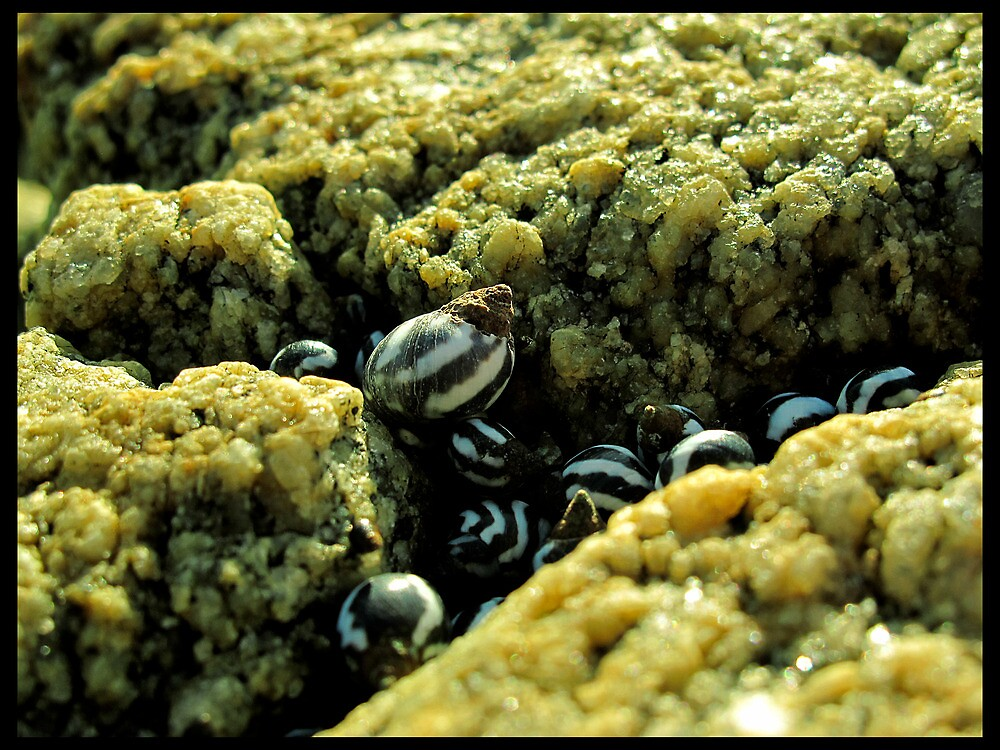 Sea ​​Snails by Franlechuga