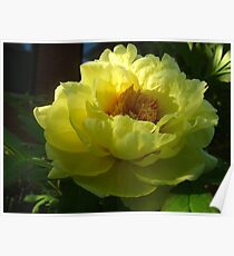 Alluring peonies of May Poster