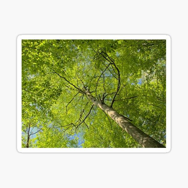 Spring beech tree canopy Sticker
