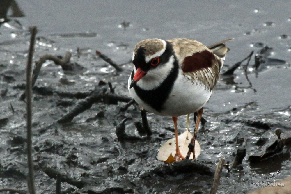 Black-fronted Dotterel by triciaoshea