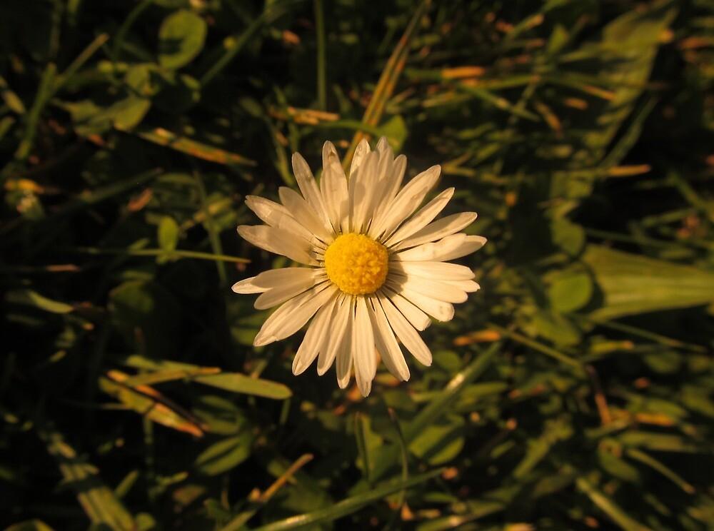 Daisy by OffOn