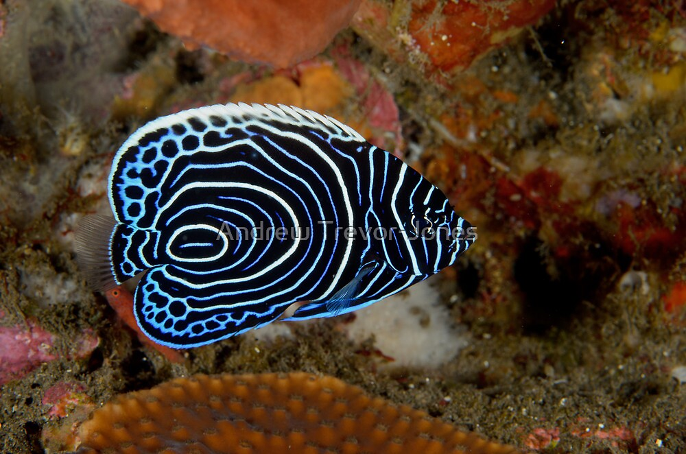 Juvenile Emperor Angelfish - Pomacanthus imperator by Andrew Trevor-Jones