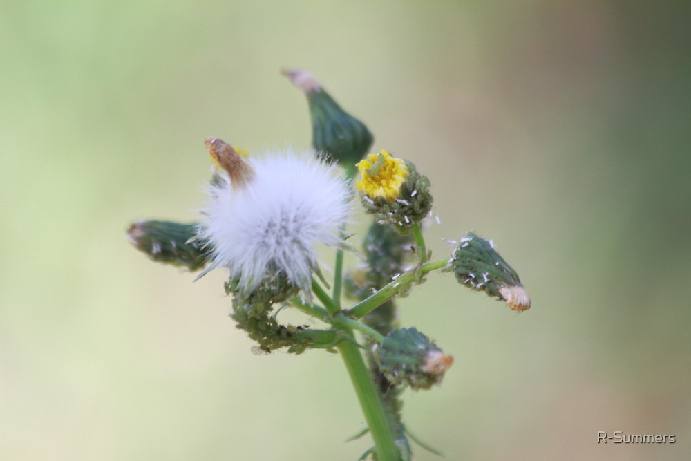 Thistle, home of whitefly and aphids by R-Summers