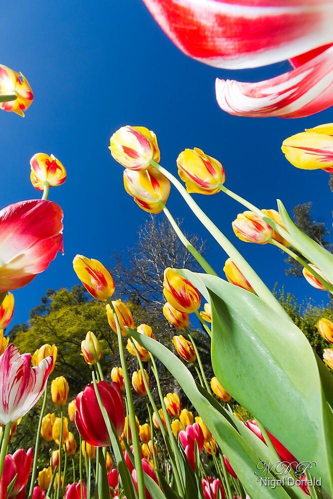 Tulips by Nigel Donald