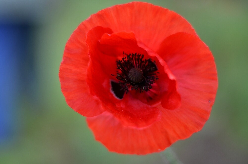 Poppy by lindalinda