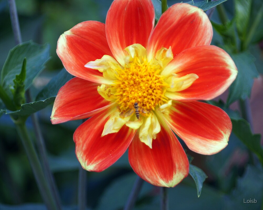 Orange Dahilia by Loisb