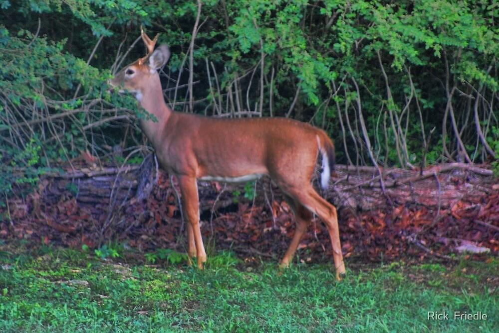 Little Buck by Rick  Friedle