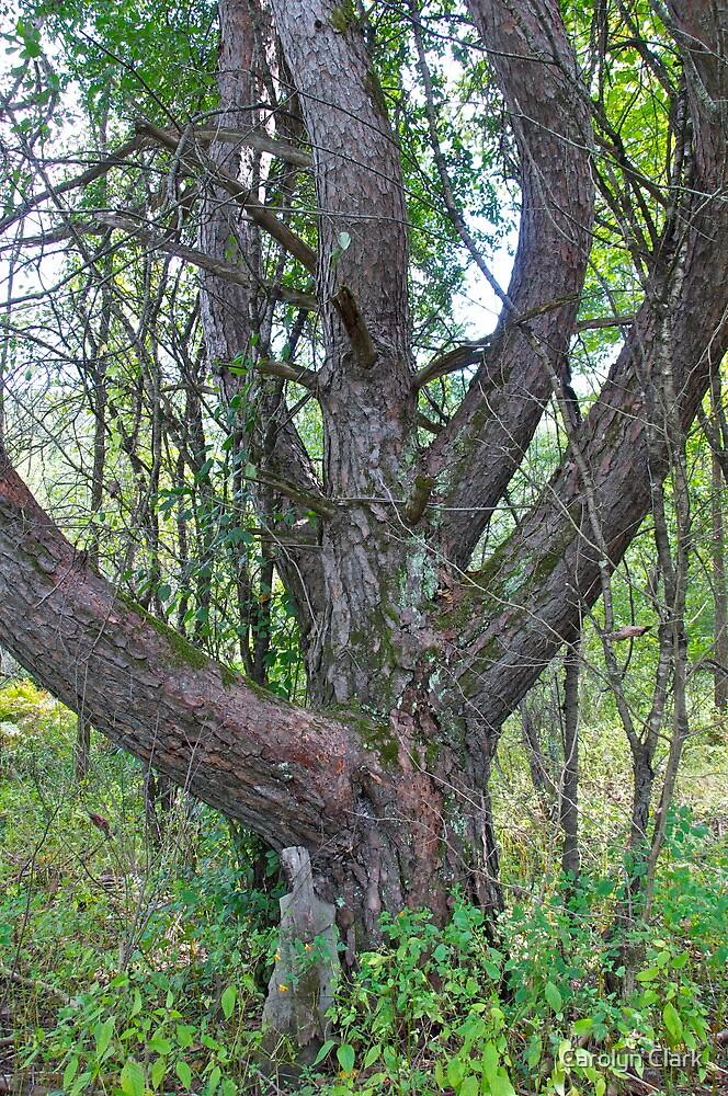 Old Cherry tree by Carolyn Clark