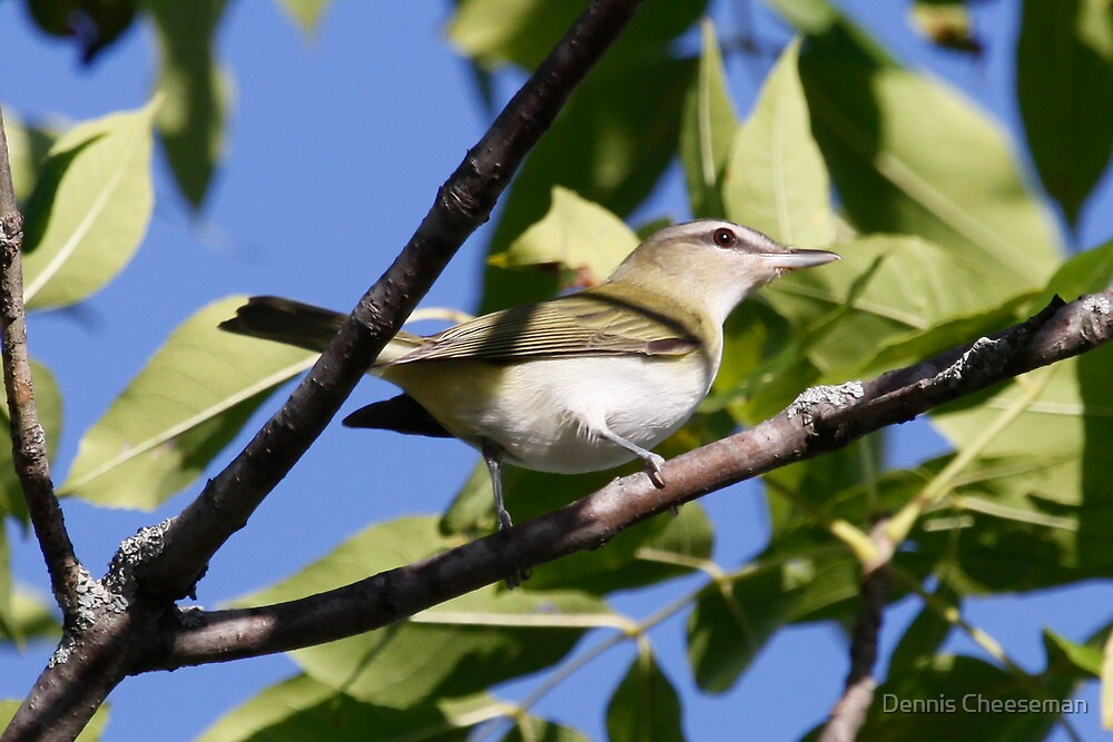 Red Eyed Vireo by Dennis Cheeseman