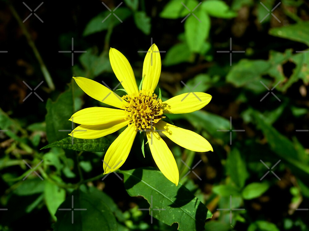 Yellow Daisy - Print, Greeting Card, and iPhone and iPod skin by Scott Mitchell