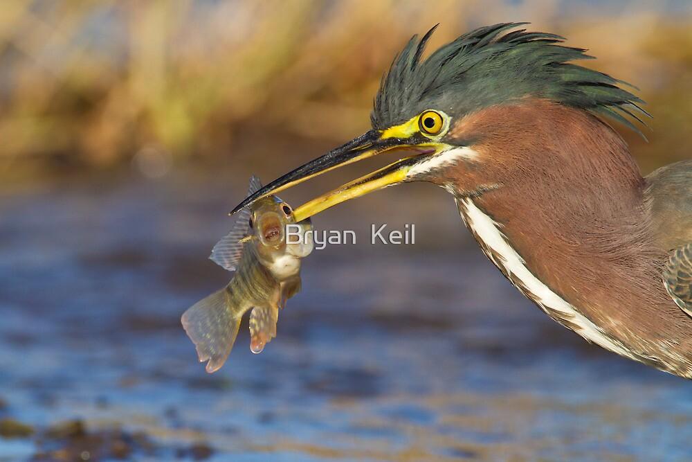 Green Heron with breakfast by Bryan  Keil