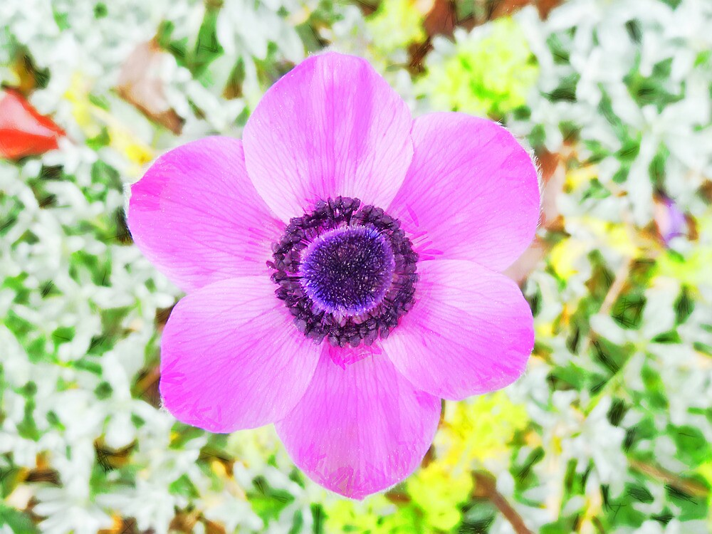 The Anemone is So Pink by PictureNZ