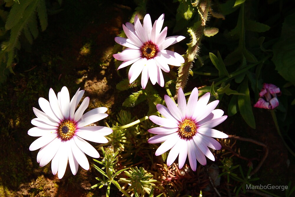 Daisys One by MamboGeorge