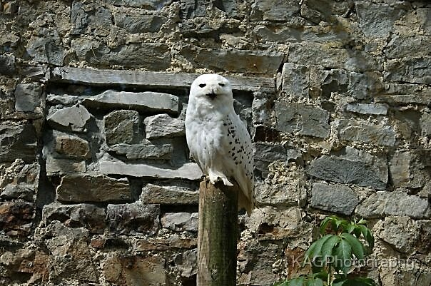 Twit Twoo by KAGPhotography