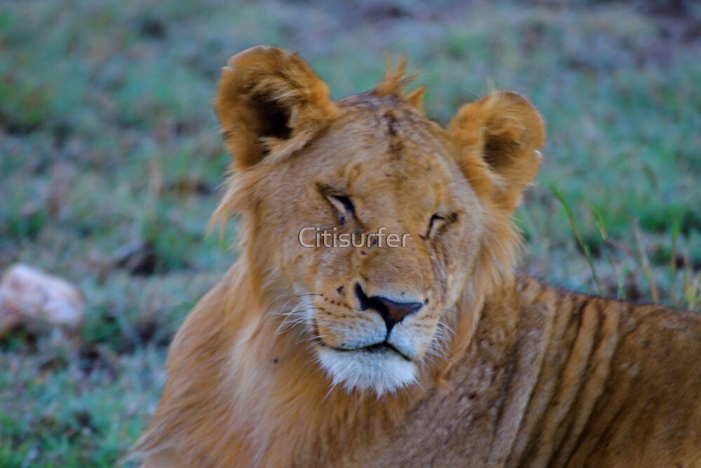 Lioness by Citisurfer