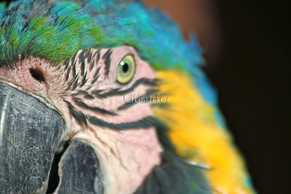 Blue Macaw up Close by Citisurfer
