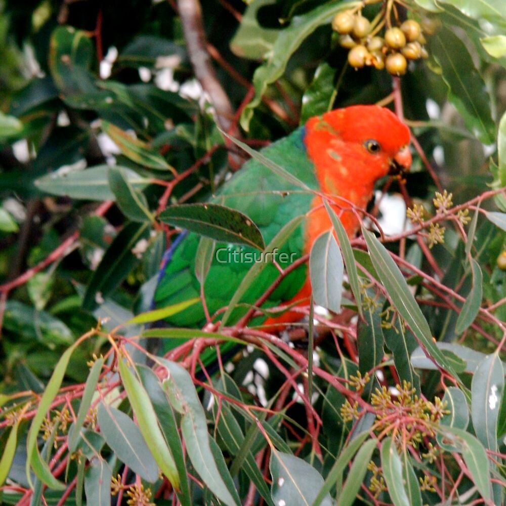 King Parrot by Citisurfer