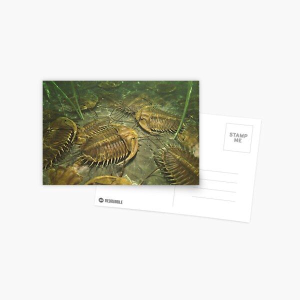 Trilobites Postcard