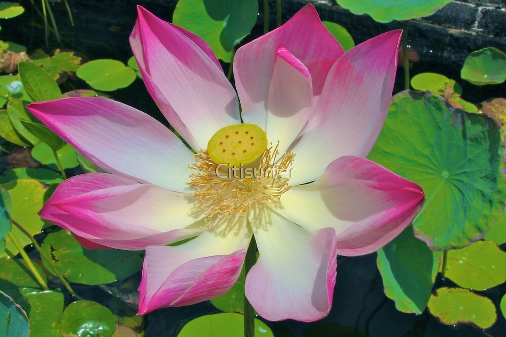 Lotus in Bali by Citisurfer