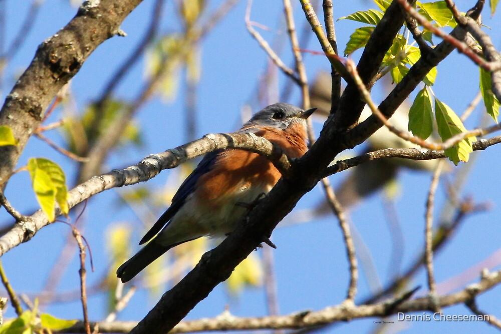 Eastern Bluebird by Dennis Cheeseman