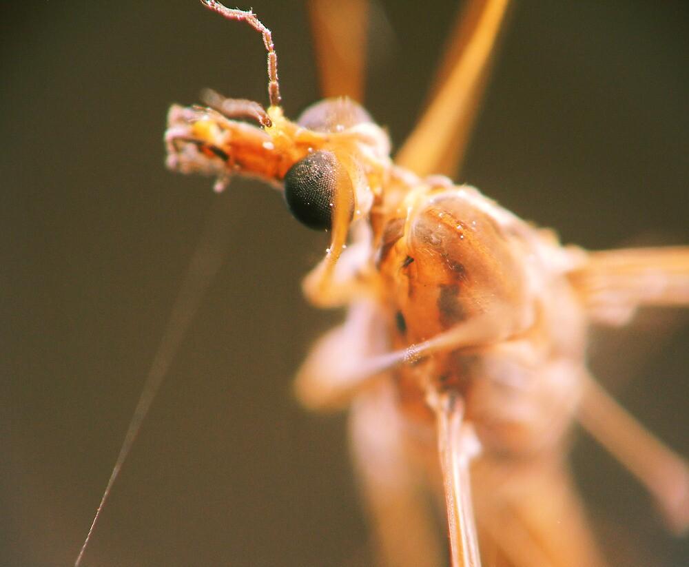Mosquito by JMSchmidt