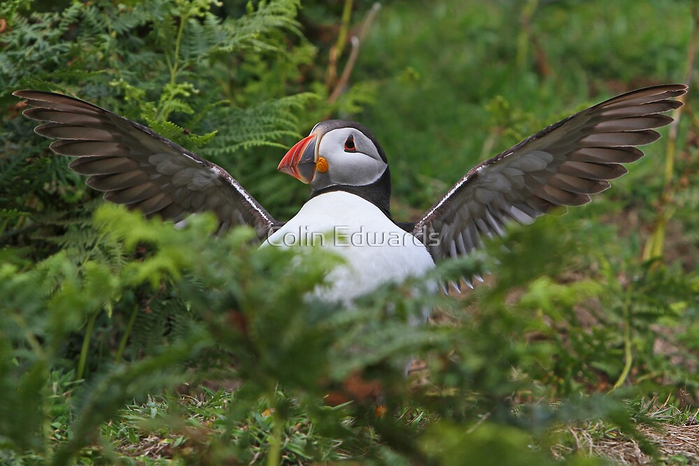Flasher Puffin by Colin Edwards
