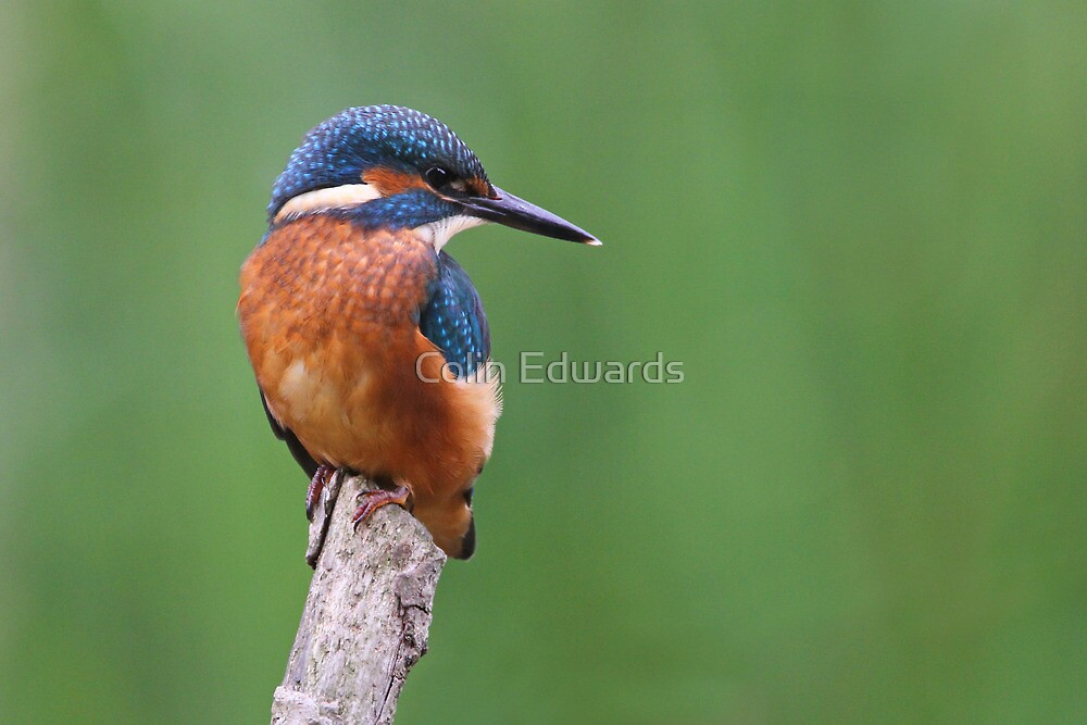 Fowlmere Kingfisher by Colin Edwards