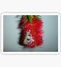 Belle - Feathertail Glider Sticker