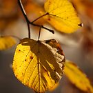 Greetings from Poland - November Wonderful Yellow Leaves . Doctor Faustus by © Andrzej Goszcz,M.D. Ph.D