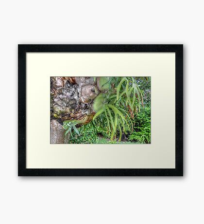 Staghorn Fern on a tree in Nassau, The Bahamas Framed Print