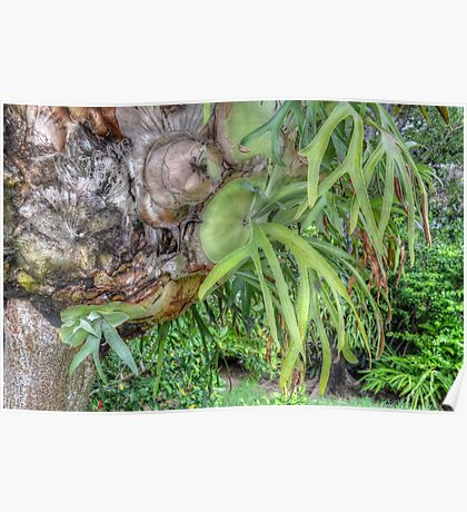 Staghorn Fern on a tree in Nassau, The Bahamas Poster