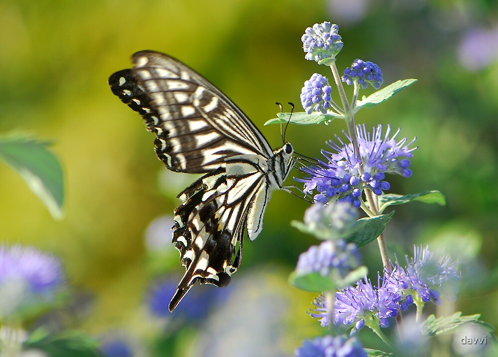 swallowtail  by davvi