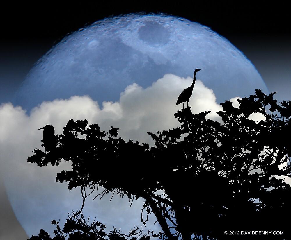 Blue Herons Blue Moon by David Denny