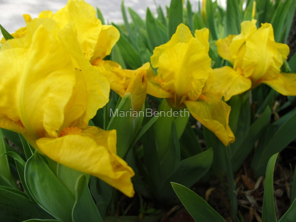 Canary Yellow Irises by MarianBendeth