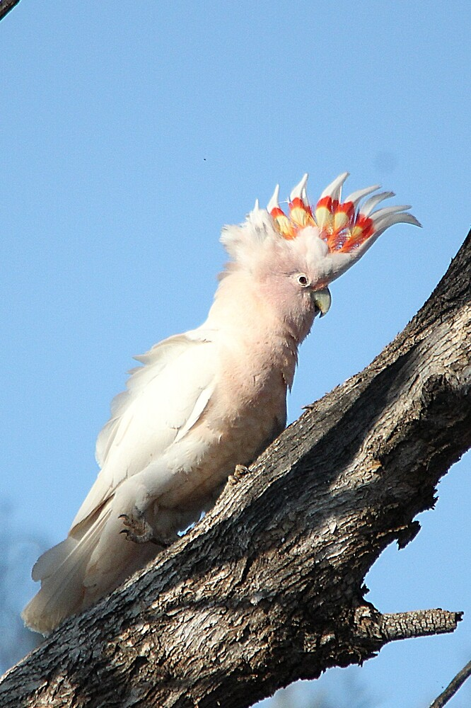 Pink Cockatoo by EnviroKey