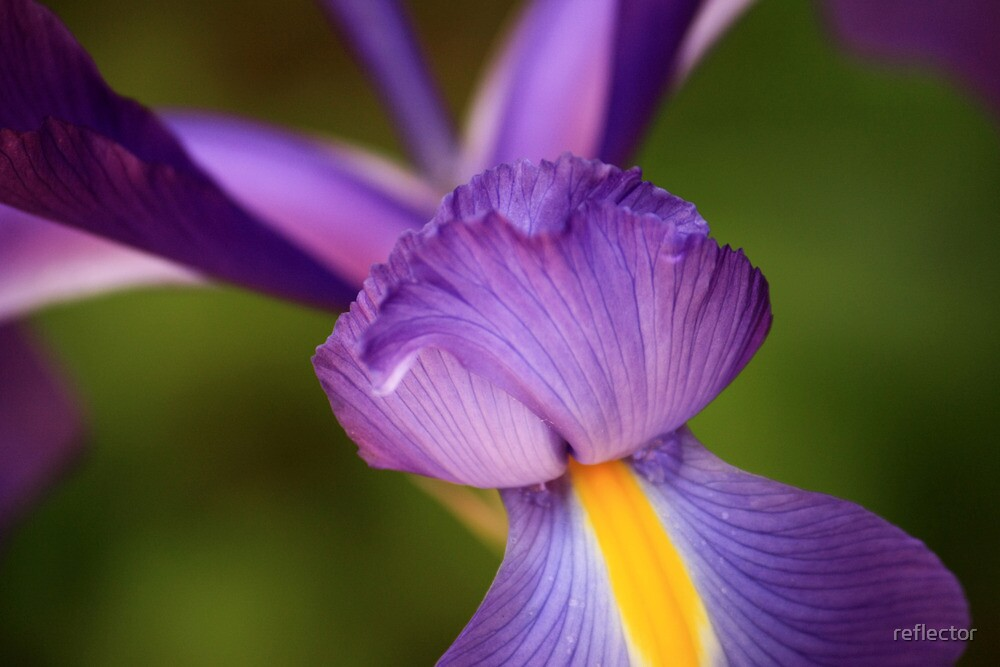 Mauve Iris by reflector
