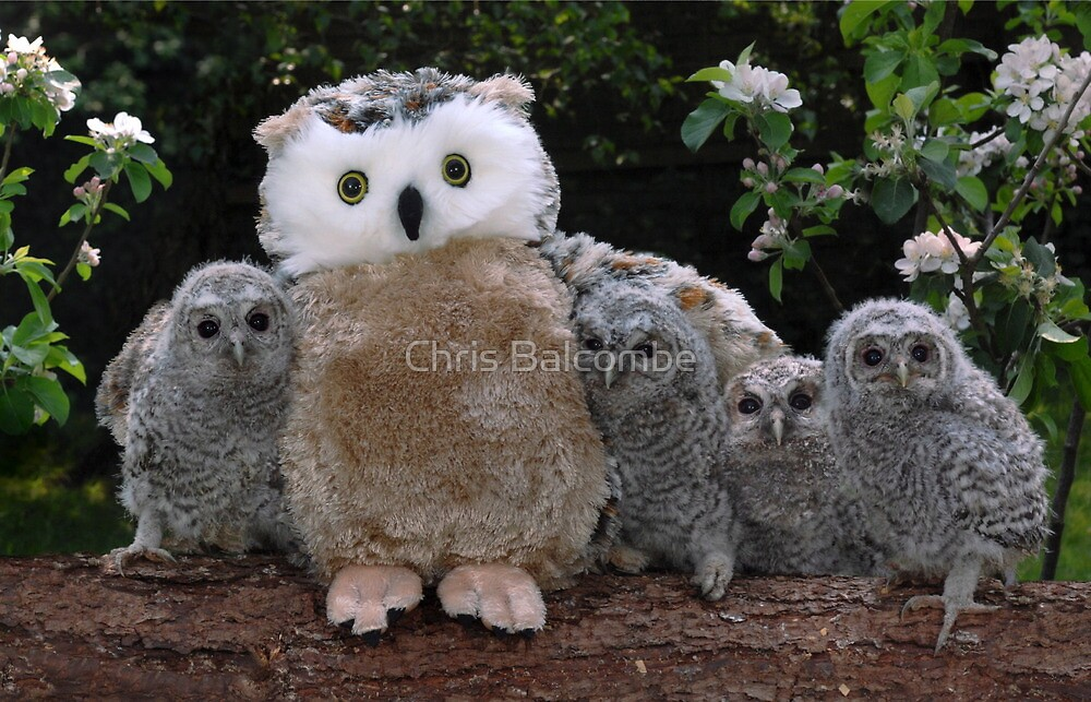 Rescued Owlets get a stuffed toy Mum! by ChrisBalcombe