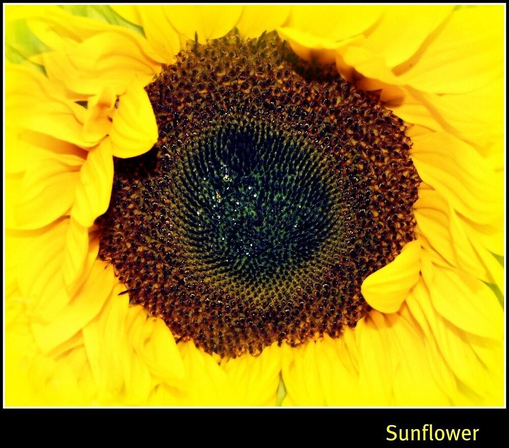 sunflower by welshmel