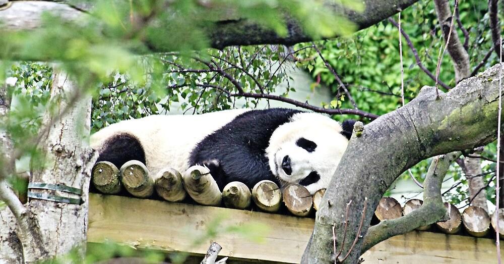 panda by welshmel