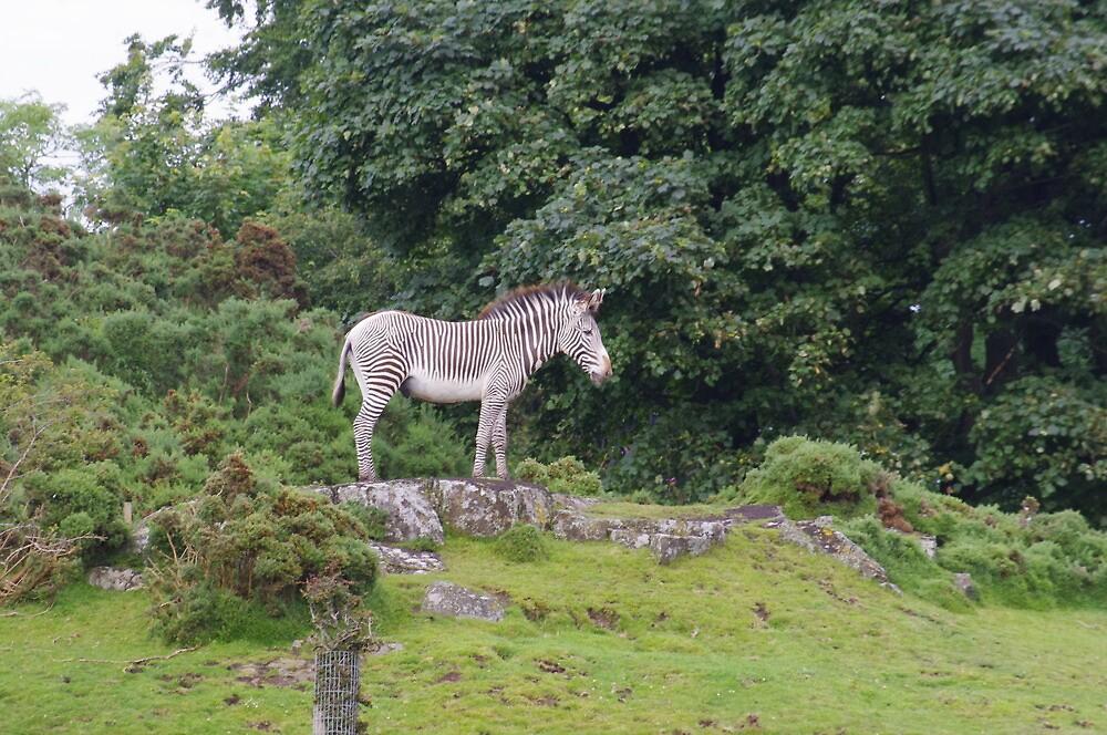 zebra by welshmel
