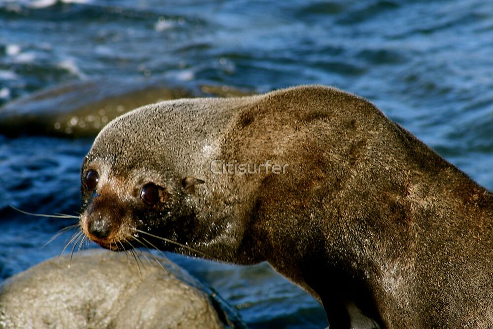 Seal by Citisurfer