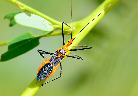 Assassin Bug by TJ Baccari Photography