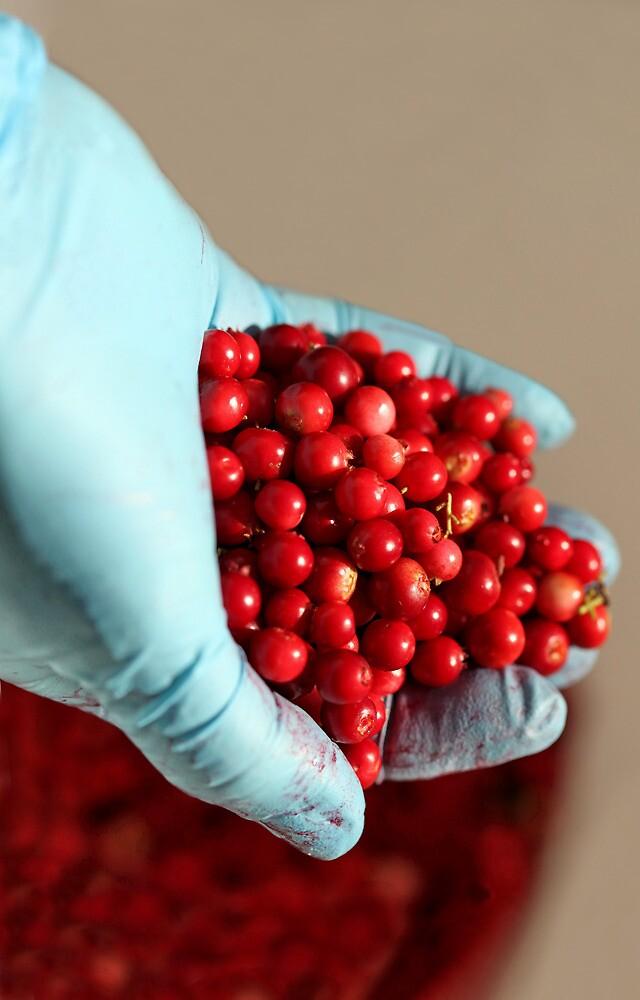 Red bilberry in hand by mrivserg