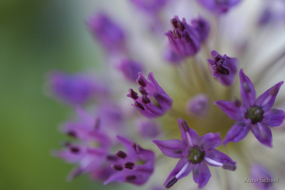 flower macro 2 by Anne Sidnell