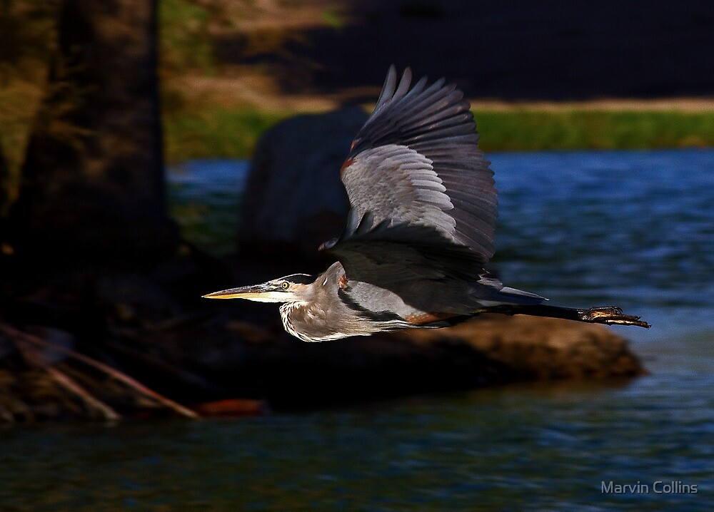 091512 Great Blue Heron by Marvin Collins