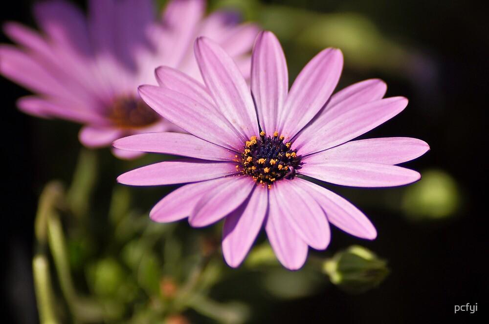 Wild Purple by pcfyi