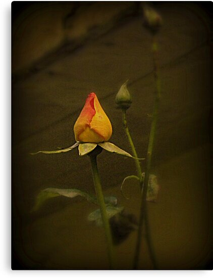 Timeless Rose by Carnation Photography